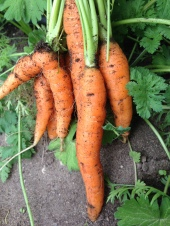 Beautiful Bayview Garden carrots.